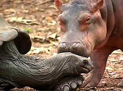 hippo-turtle