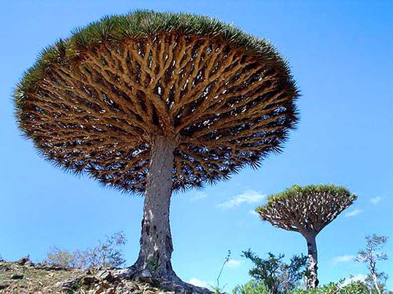 Dragon blood tree sap